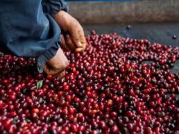 Selección de cerezas de café especial